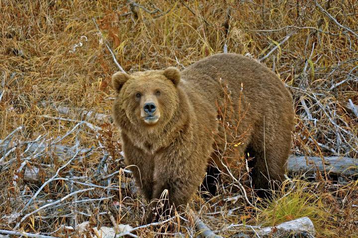 Bärensafari Alaska