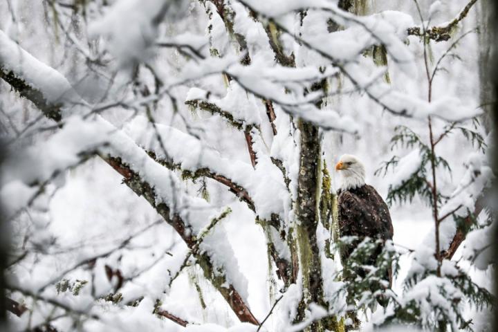 Weißkopfseeadler im Winter