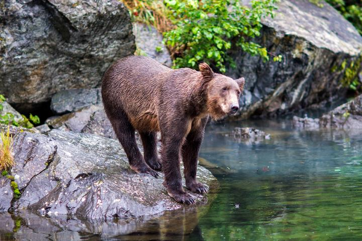 Grizzlies der Redoubt Bay