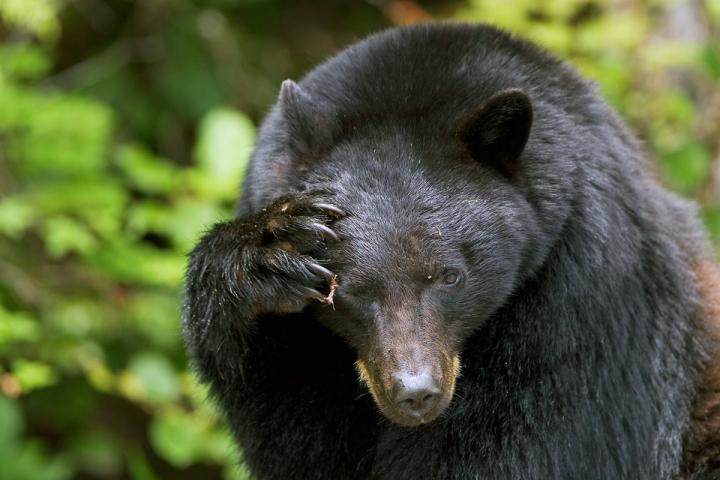 Pacific Rim Park - Bären
