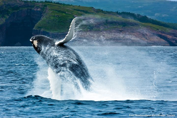 Wale Neufundlands