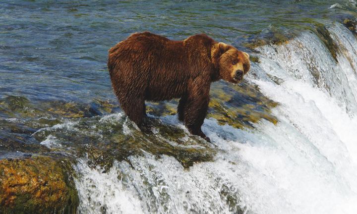Herbstbären Kanadas