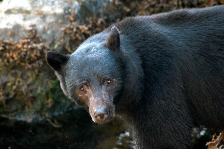 Clayoquot Sound - Bären