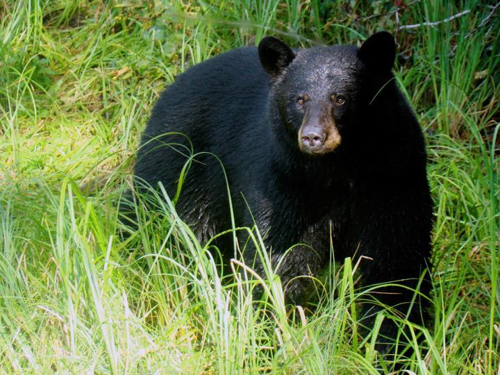 Whistler Schwarzbären