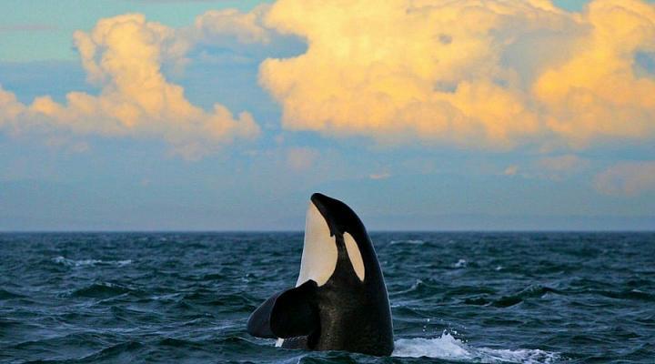 Sonnenuntergang mit Orcas