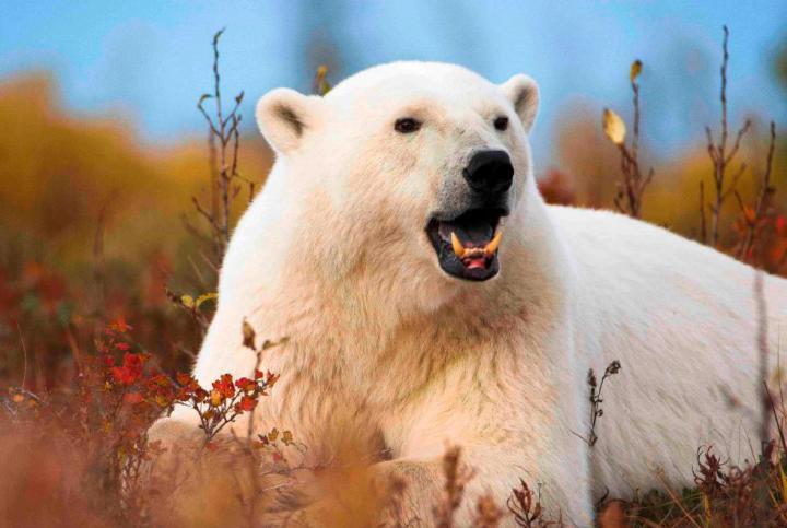 Polarbären Nanuk Lodge