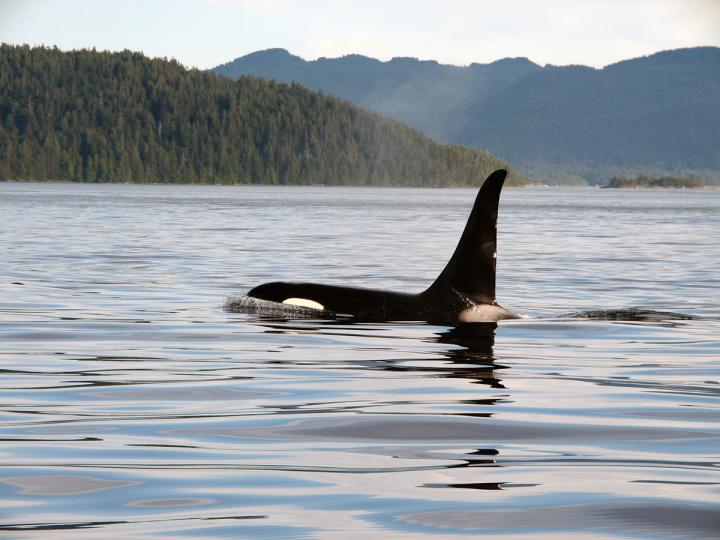 Strait of Georgia - Orcas