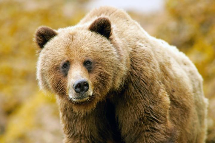 Khutzeymateen Grizzlies