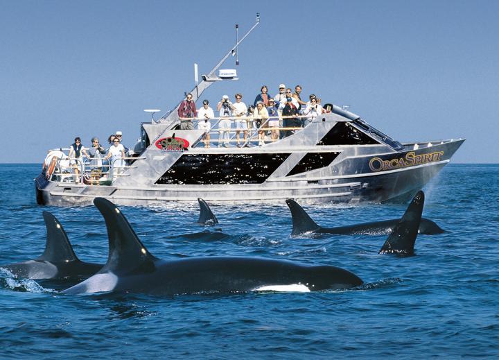 Schwertwale vor Victoria