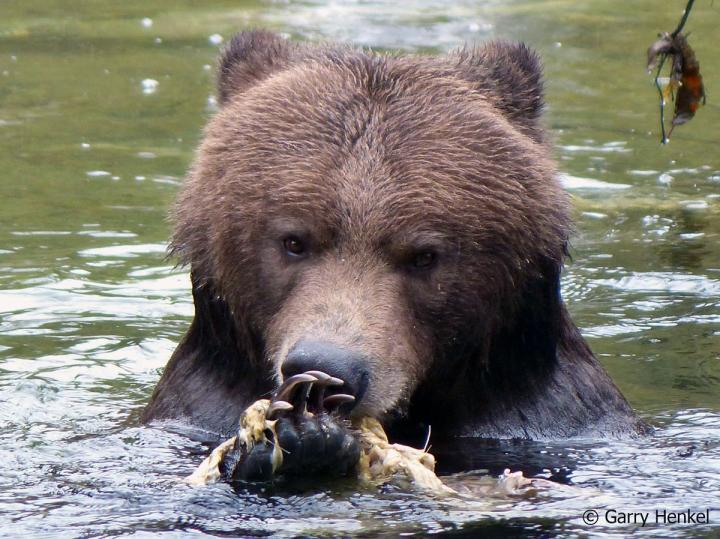 Grizzlies des Toba Inlet