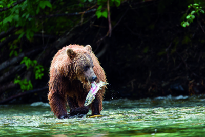 Grizzly-Beobachtung in BC