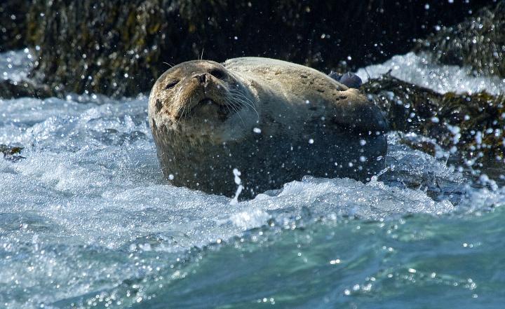 Mit Seehunden schnorcheln