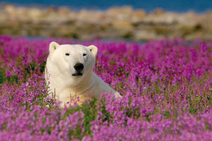 Polarbären an der Hudson Bay