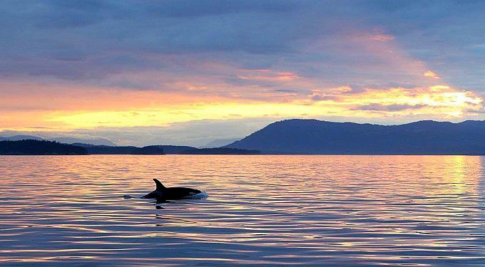 Orcas Im Sonnenuntergang